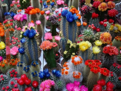 beautiful-cacti-cactus-cactuses-colorful-Favim.com-206938-76006_640x480